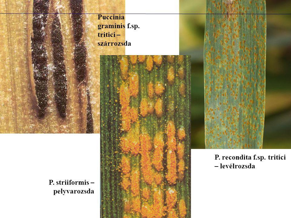 Puccinia graminis f.sp. tritici – szárrozsda P. recondita f.sp. tritici – levélrozsda P. striiformis – pelyvarozsda