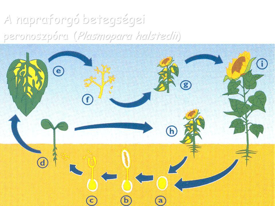 A napraforgó betegségei peronoszpóra (Plasmopara halstedii)