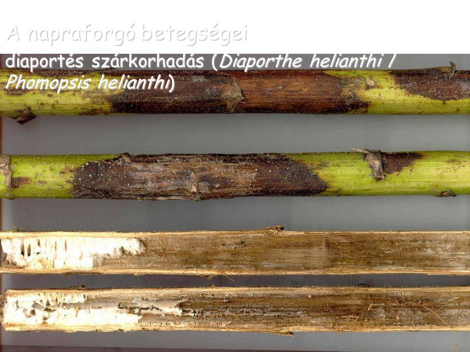 A napraforgó betegségei diaportés szárkorhadás (Diaporthe helianthi / Phomopsis helianthi)