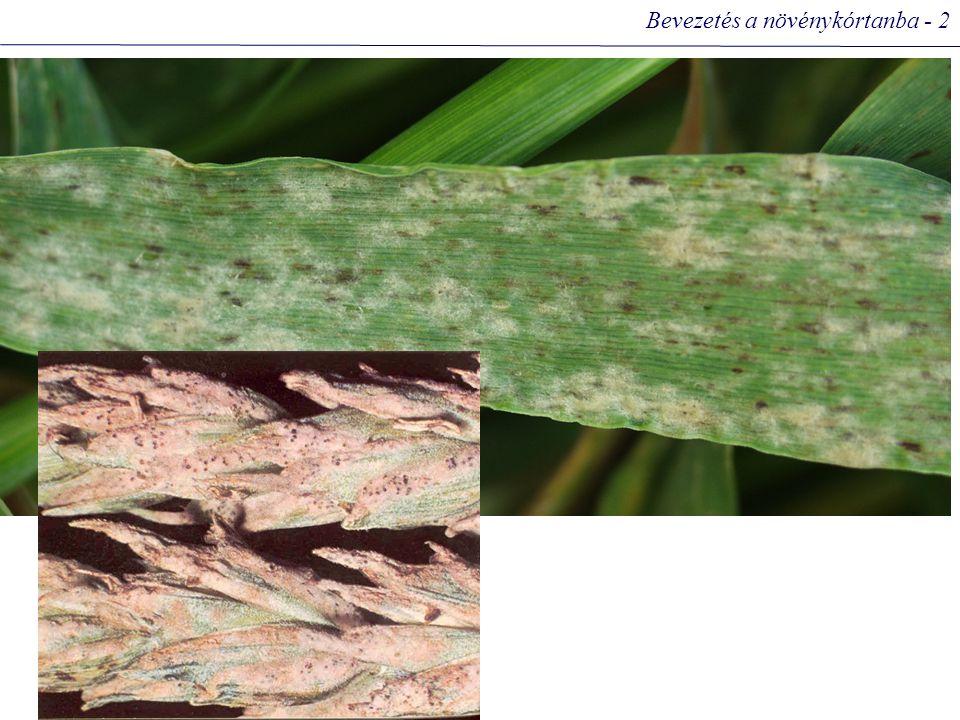 A gabonaféléken fertőző rozsdagombák fejlődés- menet köztigazdafennmaradás, fertőzés forrása Puccinia graminis f.sp.