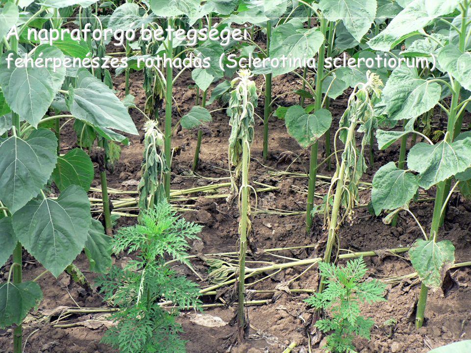 A napraforgó betegségei fehérpenészes rothadás (Sclerotinia sclerotiorum)