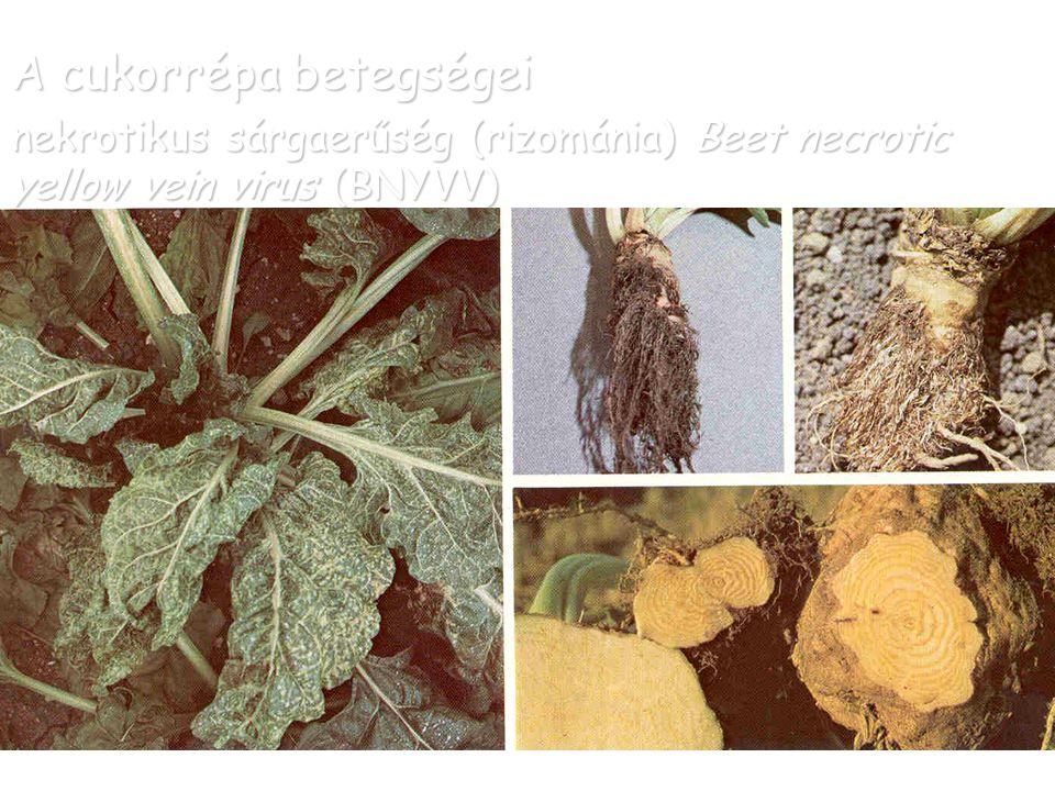 A cukorrépa betegségei nekrotikus sárgaerűség (rizománia) Beet necrotic yellow vein virus (BNYVV)