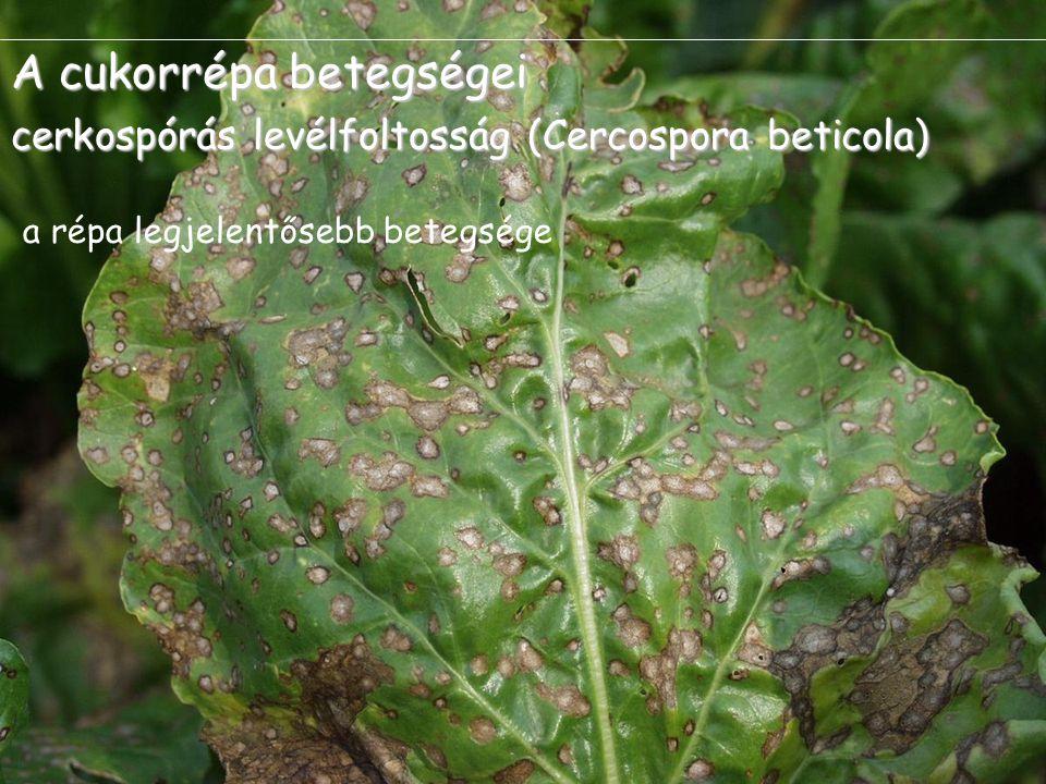 A cukorrépa betegségei cerkospórás levélfoltosság (Cercospora beticola) a répa legjelentősebb betegsége