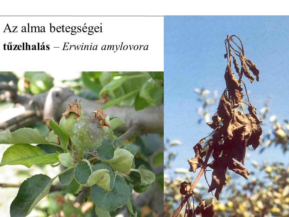 Az alma betegségei tűzelhalás – Erwinia amylovora