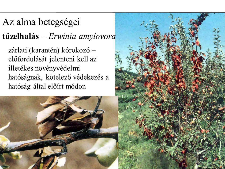 Az alma betegségei zárlati (karantén) kórokozó – előfordulását jelenteni kell az illetékes növényvédelmi hatóságnak, kötelező védekezés a hatóság álta