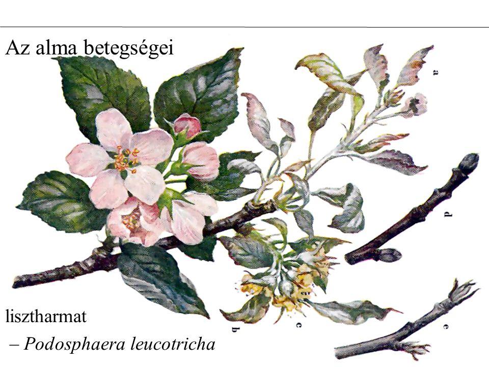 Az alma betegségei lisztharmat – Podosphaera leucotricha