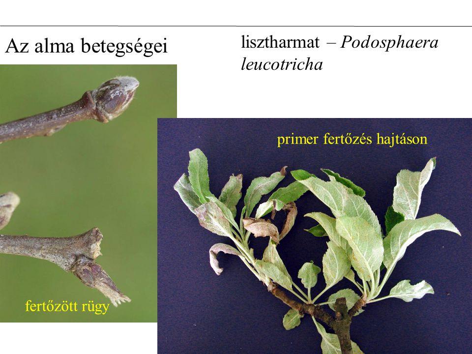 Az alma betegségei lisztharmat – Podosphaera leucotricha fertőzött rügy primer fertőzés hajtáson