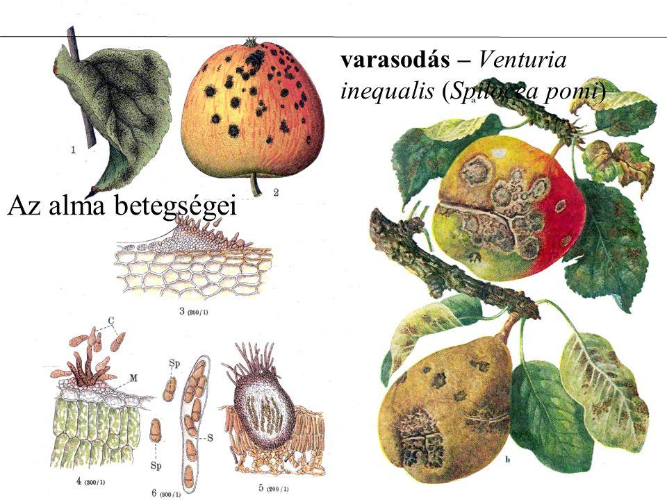 Az alma betegségei varasodás – Venturia inequalis (Spilocea pomi)