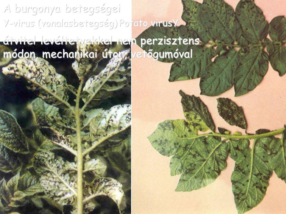 A burgonya betegségei Y-virus (vonalasbetegség) Potato virusY átvitel levéltetvekkel nem perzisztens módon, mechanikai úton, vetőgumóval