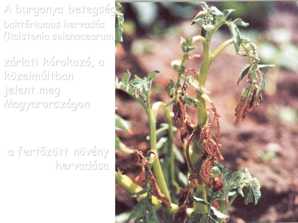 A burgonya betegségei baktériumos hervadás (Ralstonia solanacearum) baktérium nyálka megjelenése a fertőzés korai (a) és késői (b) szakaszában a gumó edénnyalábjaiban ab