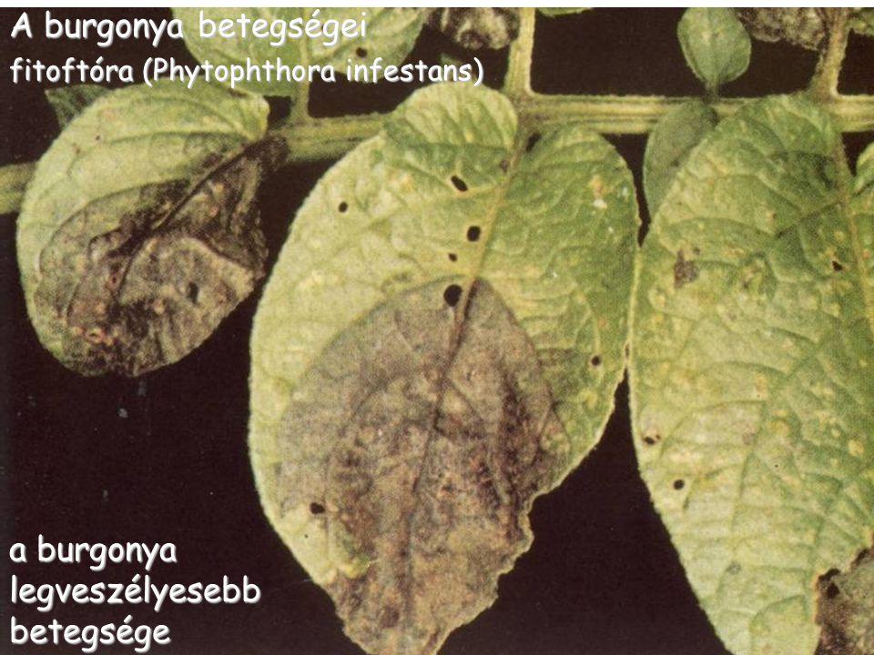 A burgonya betegségei fitoftóra (Phytophthora infestans) a burgonya legveszélyesebb betegsége