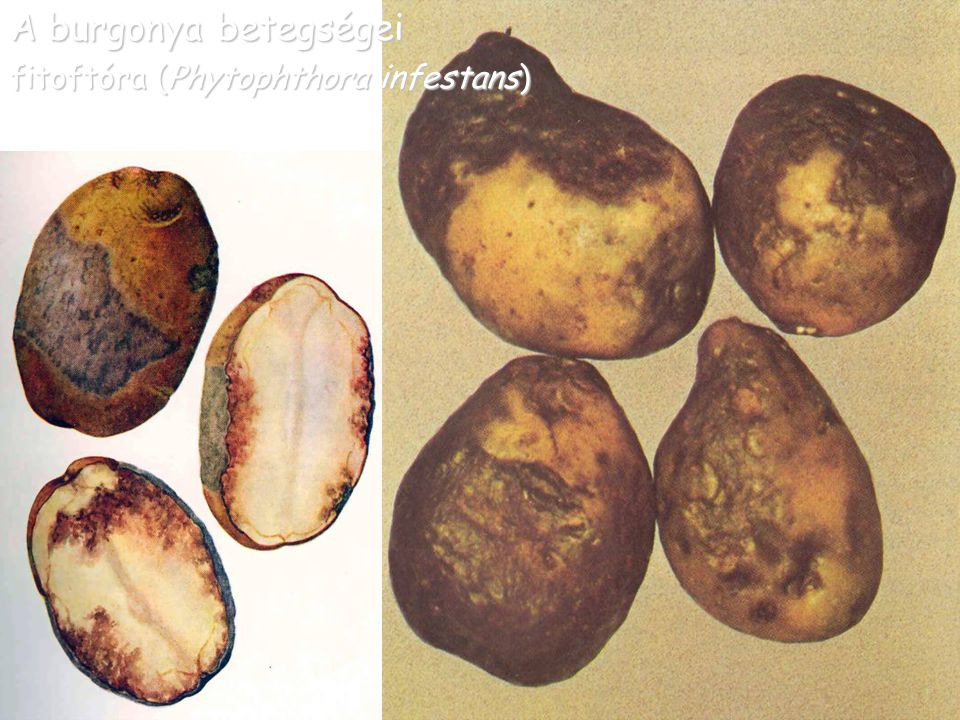 A burgonya betegségei fitoftóra (Phytophthora infestans)
