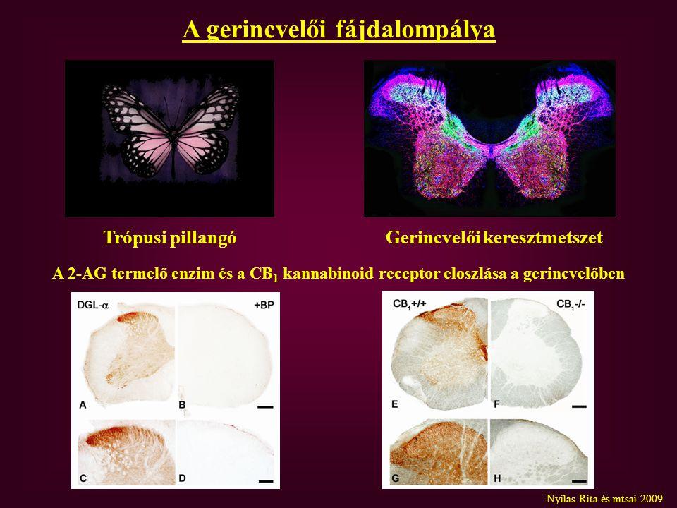A gerincvelői fájdalompálya A 2-AG termelő enzim és a CB 1 kannabinoid receptor eloszlása a gerincvelőben Trópusi pillangóGerincvelői keresztmetszet Nyilas Rita és mtsai 2009