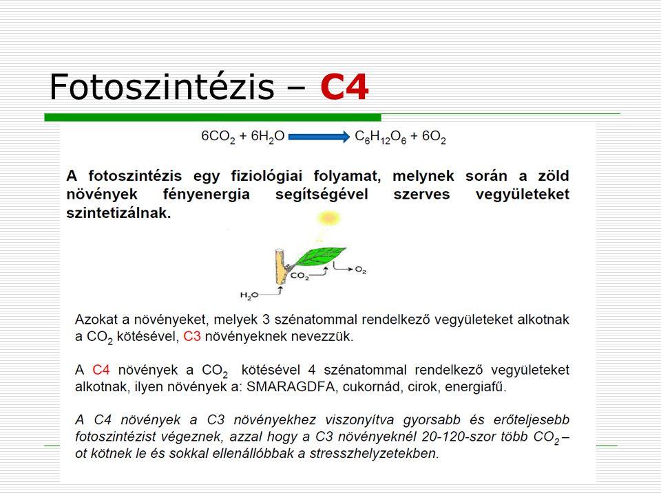 Fotoszintézis – C4