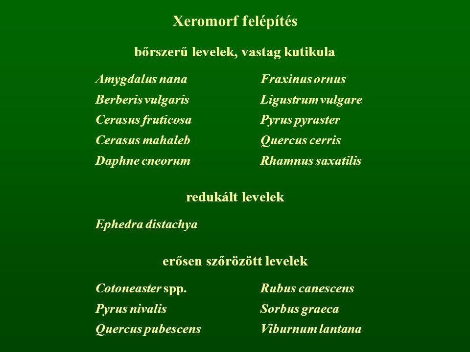 Xeromorf felépítés bőrszerű levelek, vastag kutikula Amygdalus nanaFraxinus ornus Berberis vulgarisLigustrum vulgare Cerasus fruticosaPyrus pyraster C