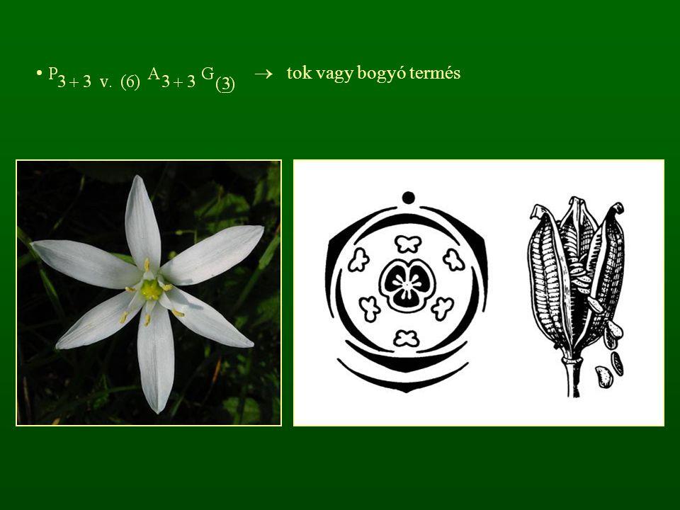  tok vagy bogyó termés