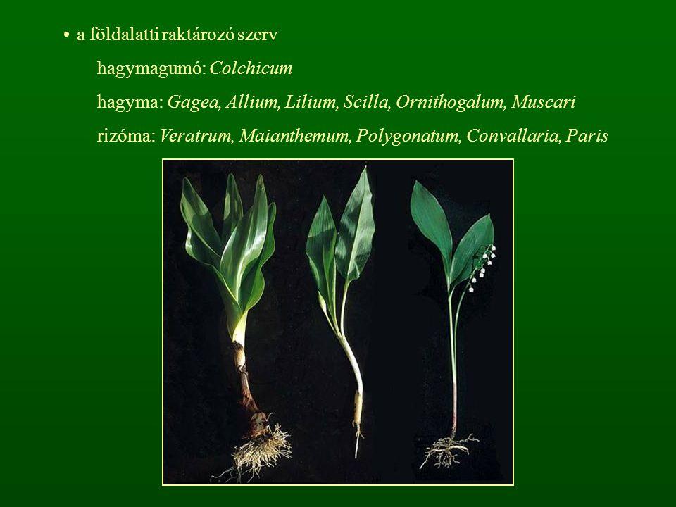 a földalatti raktározó szerv hagymagumó: Colchicum hagyma: Gagea, Allium, Lilium, Scilla, Ornithogalum, Muscari rizóma: Veratrum, Maianthemum, Polygon