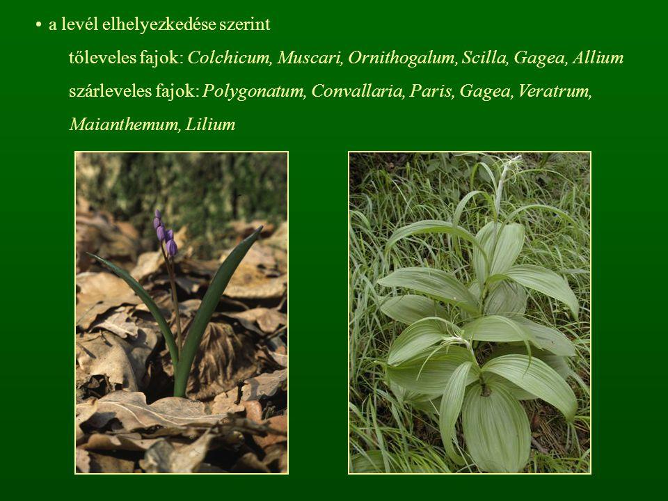 a levél elhelyezkedése szerint tőleveles fajok: Colchicum, Muscari, Ornithogalum, Scilla, Gagea, Allium szárleveles fajok: Polygonatum, Convallaria, P