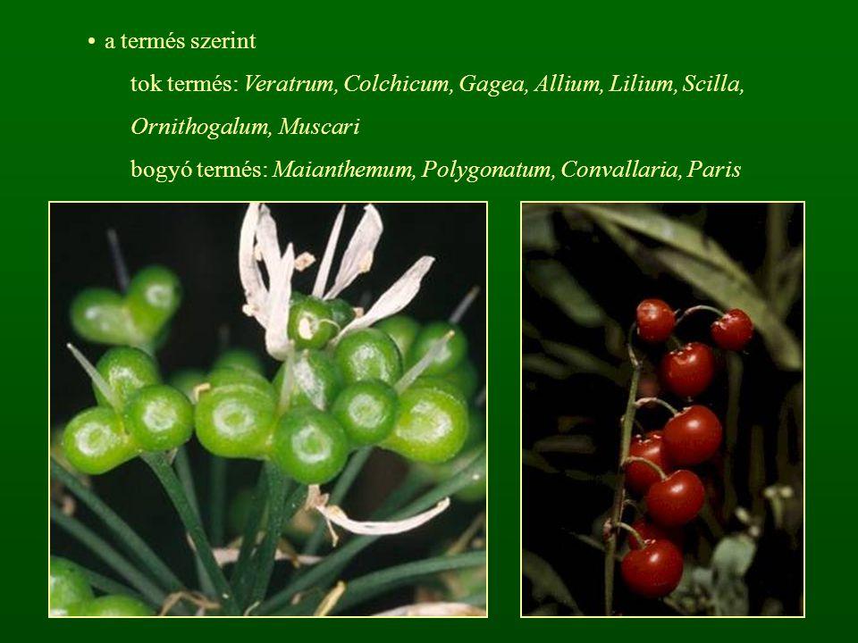 a termés szerint tok termés: Veratrum, Colchicum, Gagea, Allium, Lilium, Scilla, Ornithogalum, Muscari bogyó termés: Maianthemum, Polygonatum, Convall