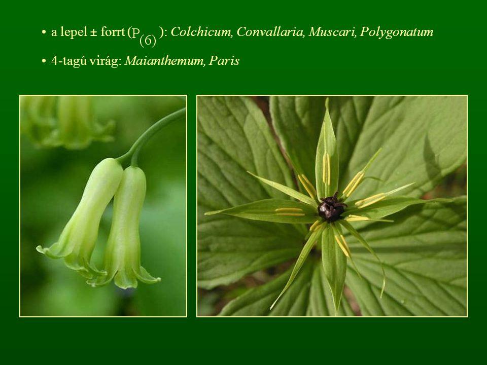 a lepel ± forrt ( ): Colchicum, Convallaria, Muscari, Polygonatum 4-tagú virág: Maianthemum, Paris