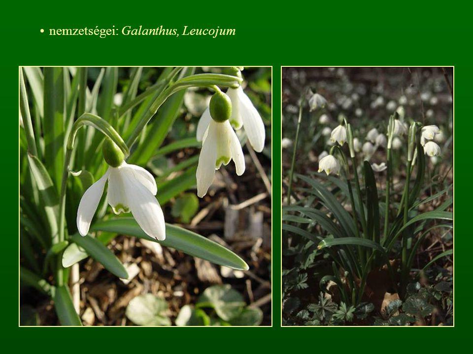 nemzetségei: Galanthus, Leucojum