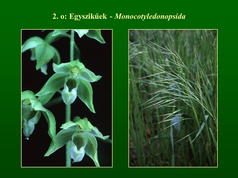 2. o: Egyszikűek - Monocotyledonopsida