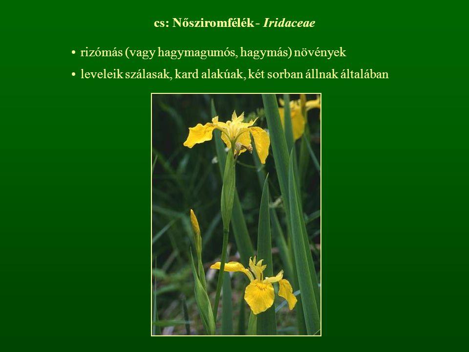 cs: Nősziromfélék - Iridaceae rizómás (vagy hagymagumós, hagymás) növények leveleik szálasak, kard alakúak, két sorban állnak általában