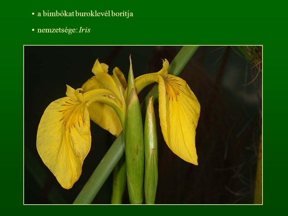 a bimbókat buroklevél borítja nemzetsége: Iris