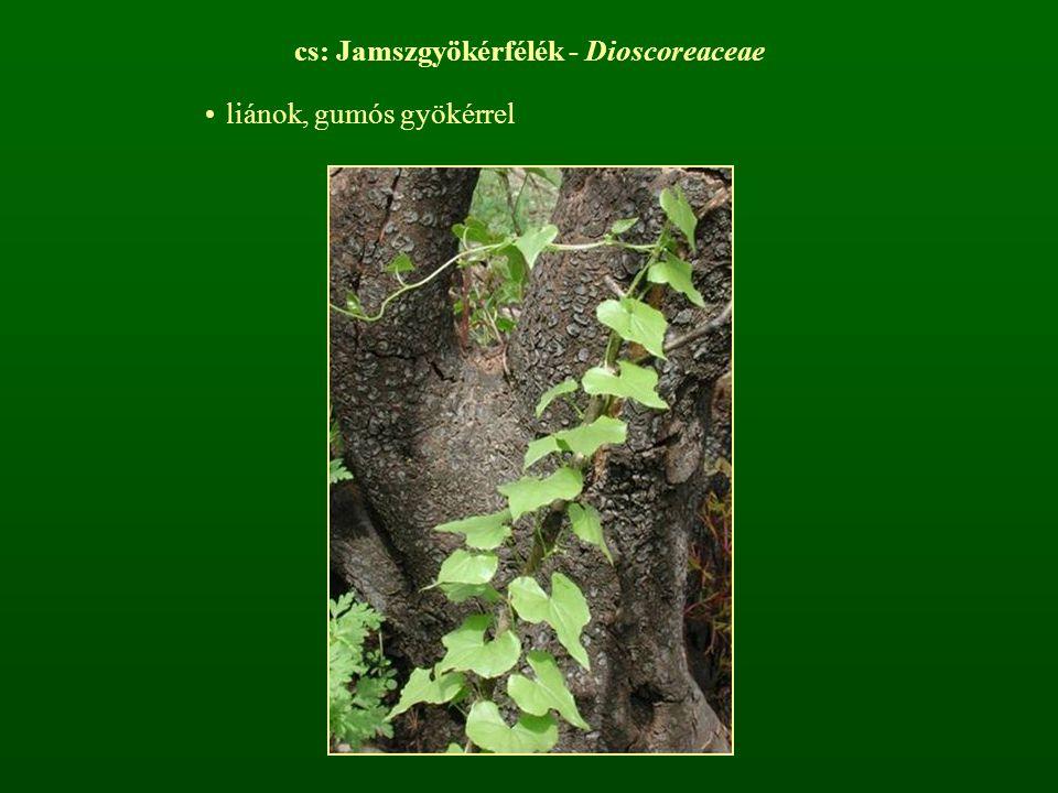 cs: Jamszgyökérfélék - Dioscoreaceae liánok, gumós gyökérrel