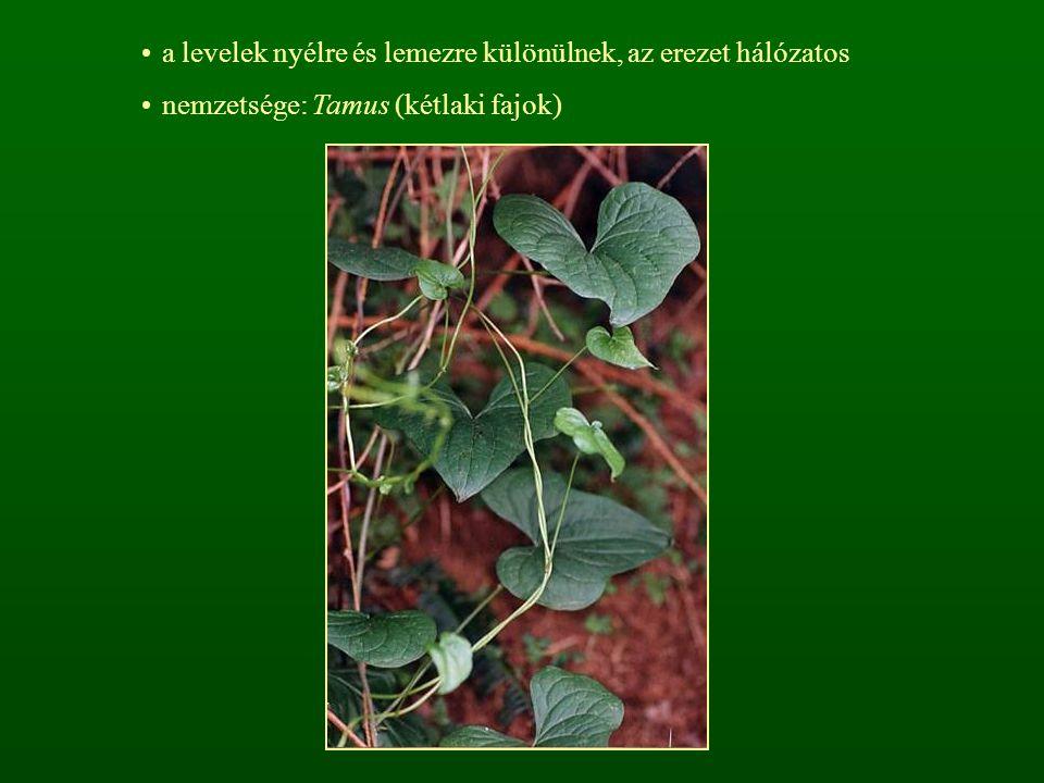 a levelek nyélre és lemezre különülnek, az erezet hálózatos nemzetsége: Tamus (kétlaki fajok)