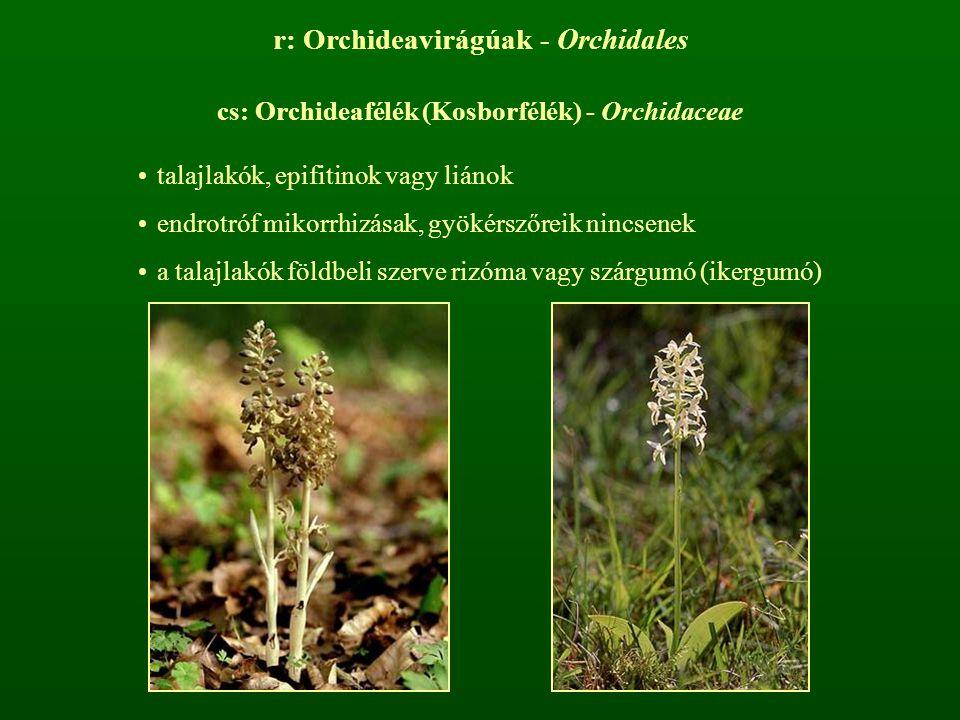 r: Orchideavirágúak - Orchidales cs: Orchideafélék (Kosborfélék) - Orchidaceae talajlakók, epifitinok vagy liánok endrotróf mikorrhizásak, gyökérszőre