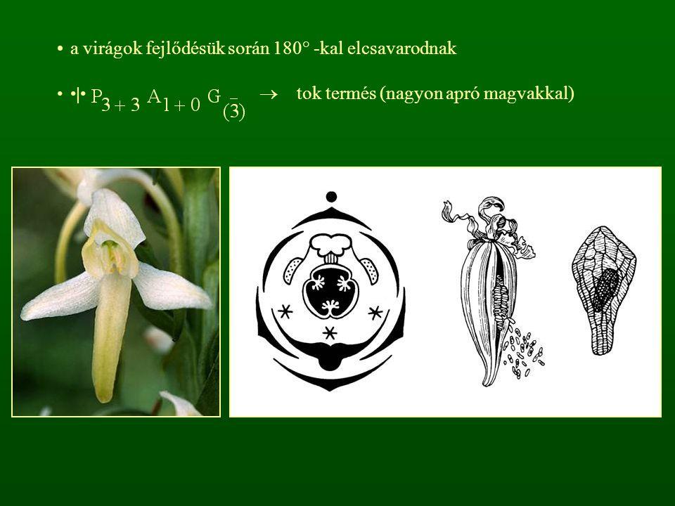 a virágok fejlődésük során 180° -kal elcsavarodnak |  tok termés (nagyon apró magvakkal)