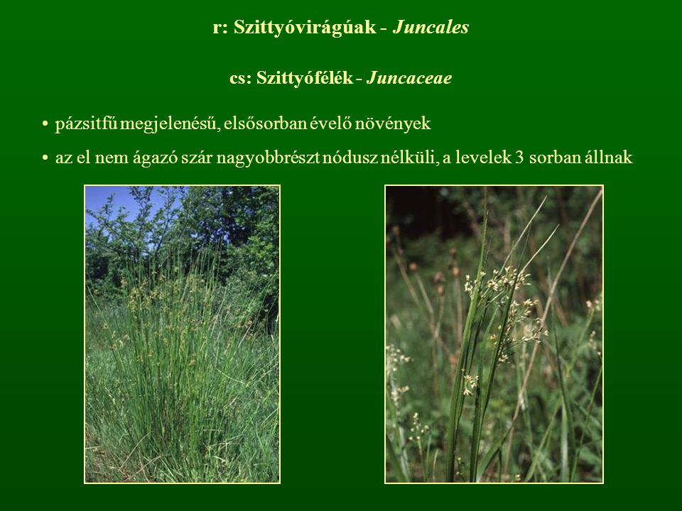 r: Szittyóvirágúak - Juncales cs: Szittyófélék - Juncaceae pázsitfű megjelenésű, elsősorban évelő növények az el nem ágazó szár nagyobbrészt nódusz né