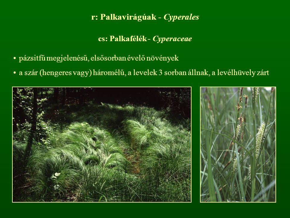 r: Palkavirágúak - Cyperales cs: Palkafélék - Cyperaceae pázsitfű megjelenésű, elsősorban évelő növények a szár (hengeres vagy) háromélű, a levelek 3