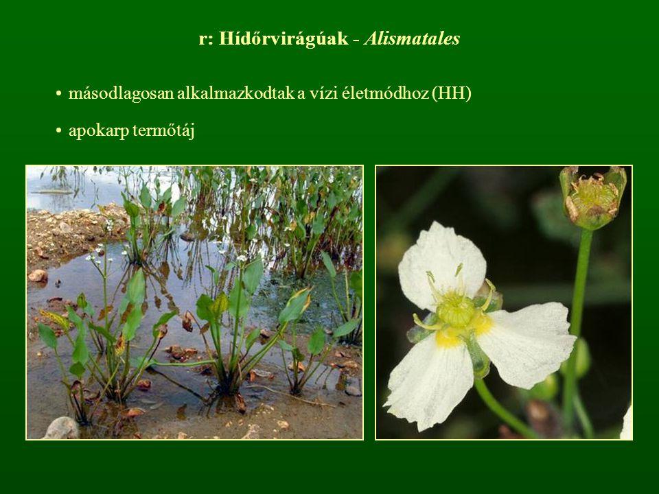 r: Hídőrvirágúak - Alismatales másodlagosan alkalmazkodtak a vízi életmódhoz (HH) apokarp termőtáj