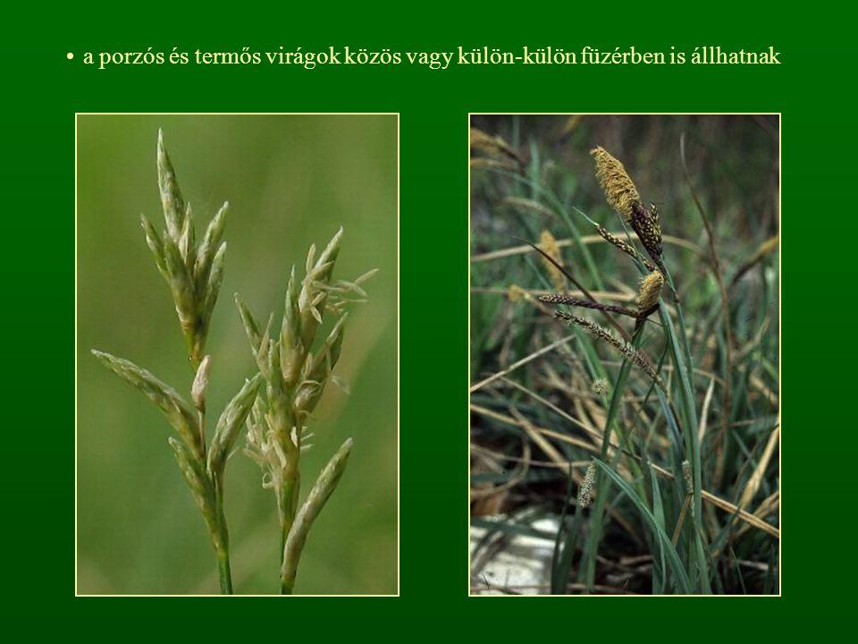 a porzós és termős virágok közös vagy külön-külön füzérben is állhatnak