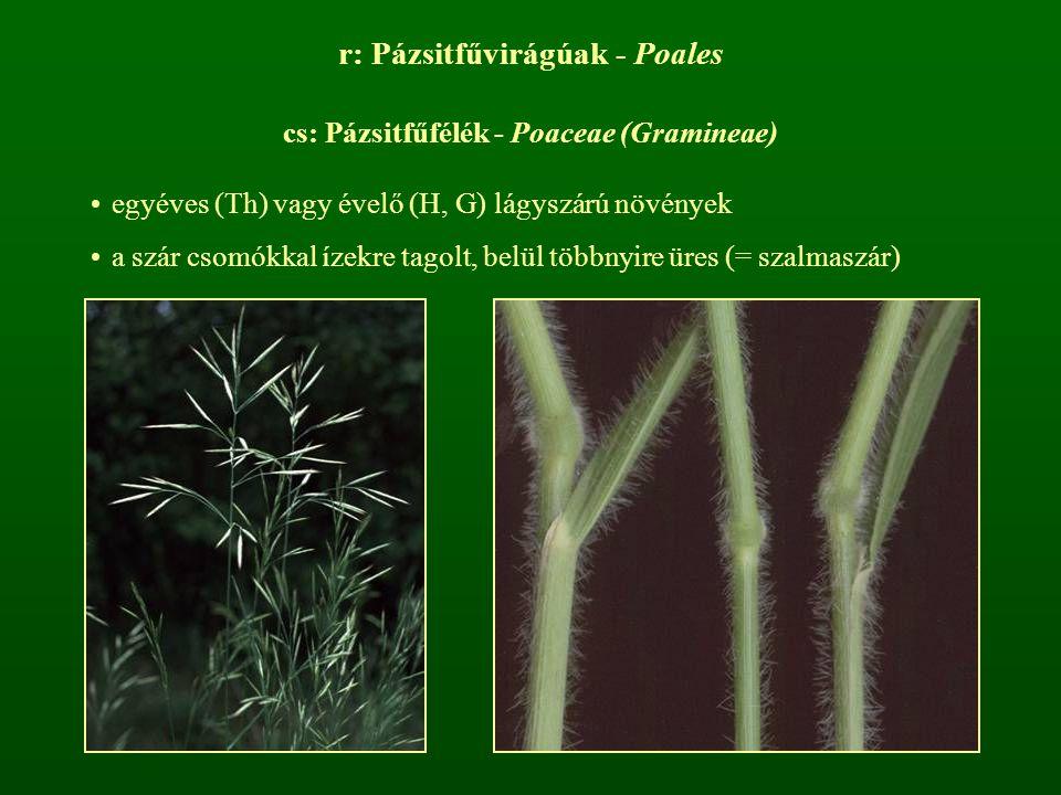 r: Pázsitfűvirágúak - Poales cs: Pázsitfűfélék - Poaceae (Gramineae) egyéves (Th) vagy évelő (H, G) lágyszárú növények a szár csomókkal ízekre tagolt,