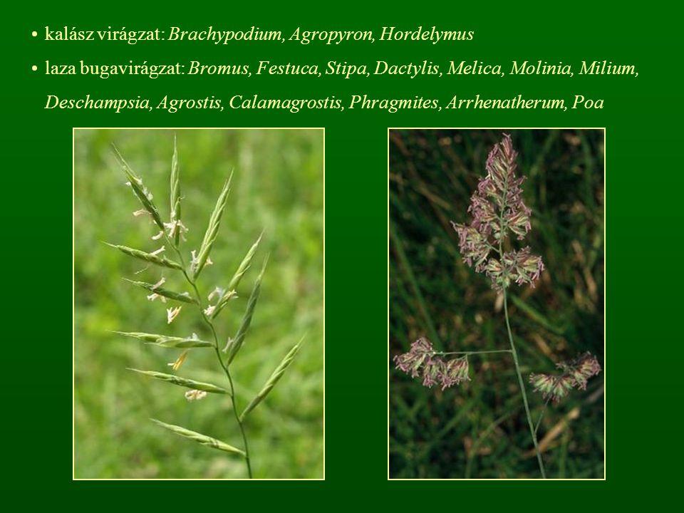 kalász virágzat: Brachypodium, Agropyron, Hordelymus laza bugavirágzat: Bromus, Festuca, Stipa, Dactylis, Melica, Molinia, Milium, Deschampsia, Agrost