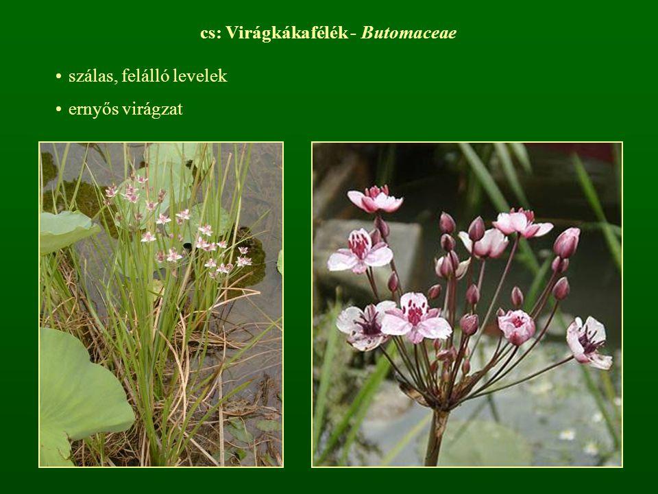 cs: Virágkákafélék - Butomaceae szálas, felálló levelek ernyős virágzat