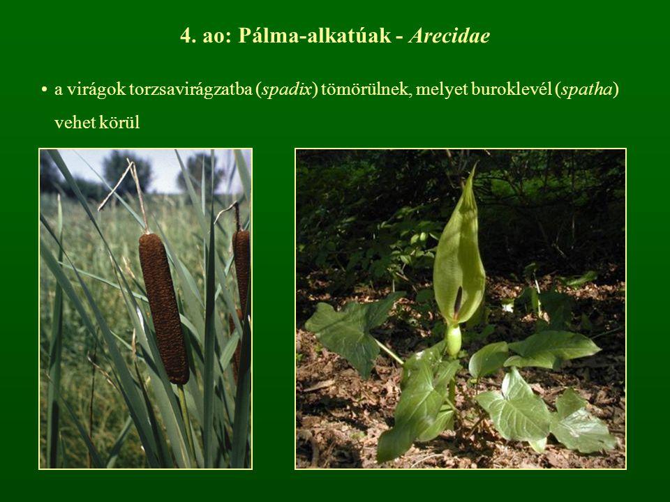 4. ao: Pálma-alkatúak - Arecidae a virágok torzsavirágzatba (spadix) tömörülnek, melyet buroklevél (spatha) vehet körül