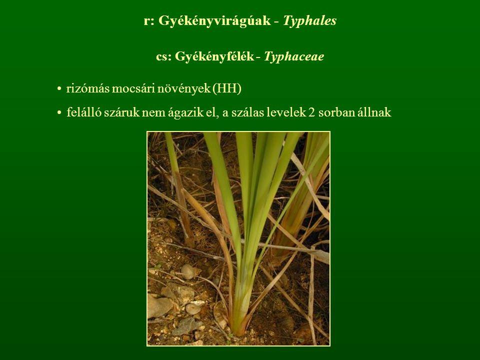 r: Gyékényvirágúak - Typhales cs: Gyékényfélék - Typhaceae rizómás mocsári növények (HH) felálló száruk nem ágazik el, a szálas levelek 2 sorban állna