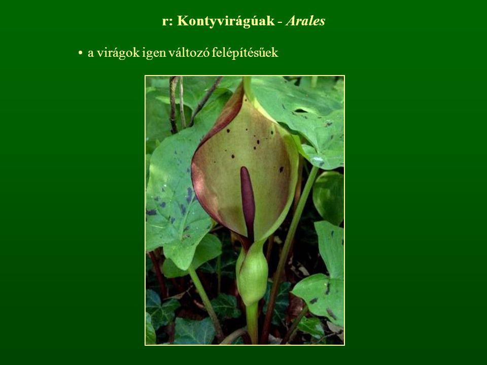 r: Kontyvirágúak - Arales a virágok igen változó felépítésűek