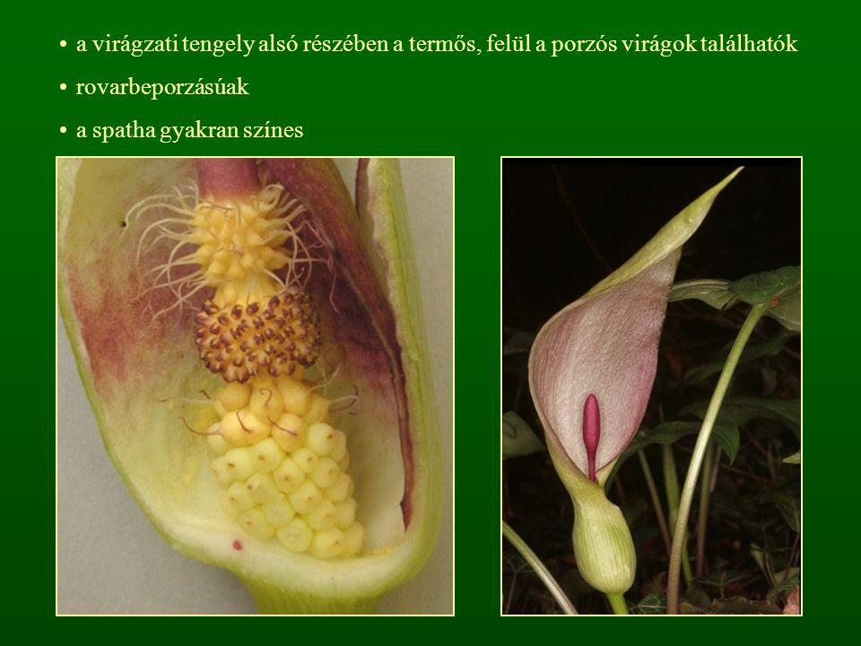 a virágzati tengely alsó részében a termős, felül a porzós virágok találhatók rovarbeporzásúak a spatha gyakran színes