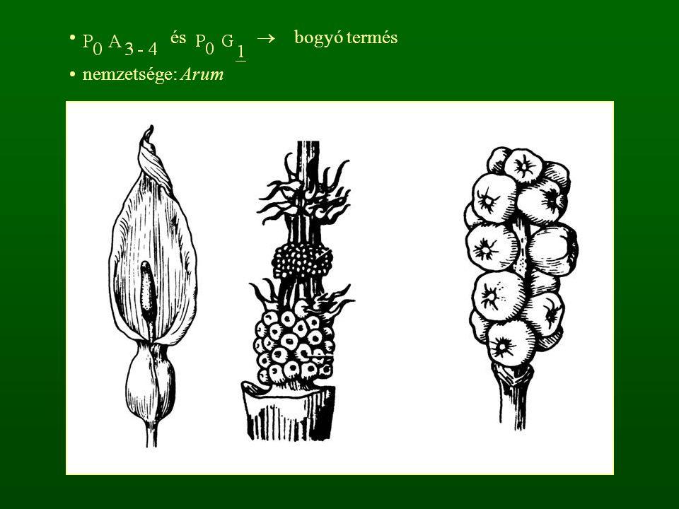 és  bogyó termés nemzetsége: Arum