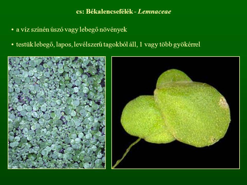 cs: Békalencsefélék - Lemnaceae a víz színén úszó vagy lebegő növények testük lebegő, lapos, levélszerű tagokból áll, 1 vagy több gyökérrel