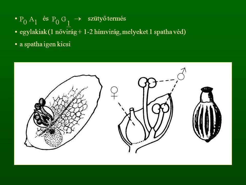 és  szütyő termés egylakiak (1 nővirág + 1-2 hímvirág, melyeket 1 spatha véd) a spatha igen kicsi ♂ ♀
