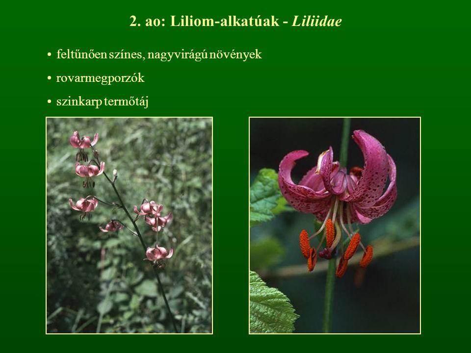 2. ao: Liliom-alkatúak - Liliidae feltűnően színes, nagyvirágú növények rovarmegporzók szinkarp termőtáj