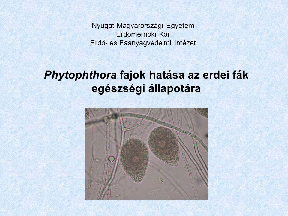 Phytophthora fajok hatása az erdei fák egészségi állapotára Nyugat-Magyarországi Egyetem Erdőmérnöki Kar Erdő- és Faanyagvédelmi Intézet