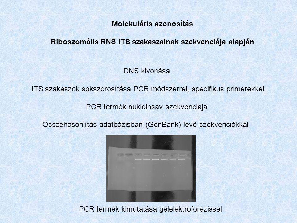 DNS kivonása ITS szakaszok sokszorosítása PCR módszerrel, specifikus primerekkel PCR termék nukleinsav szekvenciája Összehasonlítás adatbázisban (GenBank) levő szekvenciákkal Molekuláris azonosítás Riboszomális RNS ITS szakaszainak szekvenciája alapján PCR termék kimutatása gélelektroforézissel