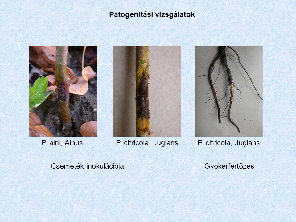 Patogenitási vizsgálatok P. citricola, JuglansP. alni, AlnusP. citricola, Juglans Csemeték inokulációjaGyökérfertőzés